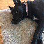 Black dog | Direct Carpet Unlimited