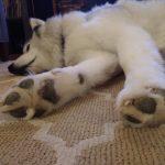 Dog slept on Carpet | Direct Carpet Unlimited