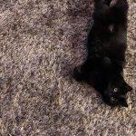 Black Cat on Carpet | Direct Carpet Unlimited